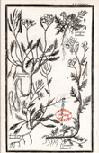 Botanical Print - Botany - Plants - Sisimbrium - Cardamine [University College London]