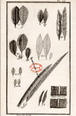 Botanical Print - Botany - Plants - Sipophae Rhamnoides [University College London]