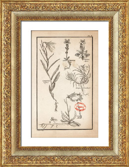 Botanical Print - Botany - Plants - Campanula Uniflora - Campan Allionii - Gentiana Alpina [University College London]