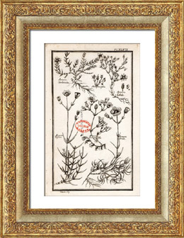 Botanical Print - Botany - Plants - Arenaria Triflora [University College London]