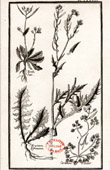 Botanical Print - Botany - Plants - Cardamine Plumieri - Turritis Raii - Erysimum Pyrenaicum [University College London]