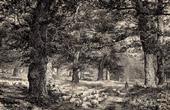 Sherwood Forest - Edwinstowe - Nottinghamshire (England)