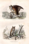 Buffon - Birds - Eurasian Eagle owl - Long eared Owl