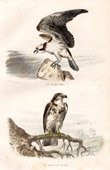 Buffon - Birds - Birds of prey - Osprey - Short-toed Eagle