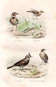Buffon - Birds - Calandra Lark - Galerida - Larks - Alauda Mosellana