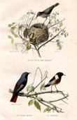Buffon - Birds - Curruca arundinacea - Black Redstart - Wheatear