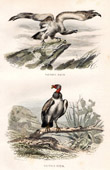 Buffon - Birds - Birds of prey - Vultures - Griffin Vulture - Red-headed Vulture