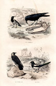Buffon - Birds - Raven - Jackdaw - Eurasian Magpie