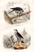 Buffon - Birds - Birds of prey - Northern Goshawk - Sparrowhawk