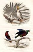Buffon - Birds - Sulphur crested Cockatoo - Black capped Lory - Parrot