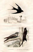 Buffon - Birds - Swallow - European Nightjar - Alpine Swift