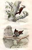 Buffon - Birds - Treecreeper - Eurasian Wryneck