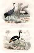 Buffon - Vögeln - Kranich - Weißstorch - Royal Bird