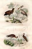 Buffon - Birds - Botaurus - Spoonbill - Bar tailed Godwit - Common Snipe
