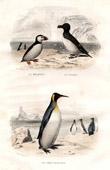 Buffon - Birds - Sea birds - Atlantic Puffin - Penguin - Emperor Penguin