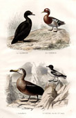 Buffon - Birds - Sea birds - Black Scoter - Teal - Albatross - Petrel