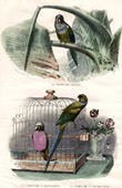 Buffon - Birds - Budgerigar