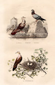 Buffon - Birds - Pigeons - Turtledove