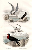 Buffon - Birds - Sea birds - Common Tern - Epouvantail - Frigatebird - Tropic bird