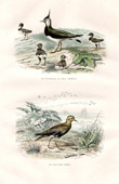 Buffon - Birds - Northern Lapwing - European Golden Plover