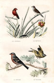 Buffon - Birds - Bluebill - Amandava - Chaffinch - Greenfinch