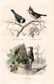 Buffon - Birds - Passerines - Tits - Chickadees - Treecreeper