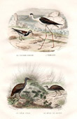 Buffon - Birds - Ruddy Turnstone - Black winged Stilt - Water Rail - Corn Crake