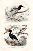 Buffon - Birds - Hooded Butcherbird - Rhinoceros Hornbill -  Tock