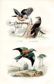 Buffon - Birds - Jay - Nutcracker - European Roller