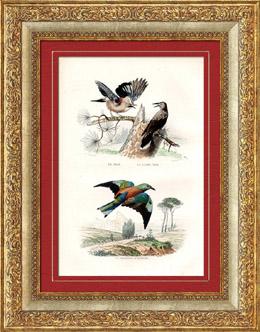 Buffon - Uccelli - Ghiandaia - Nocciolaia - Ghiandaia marina