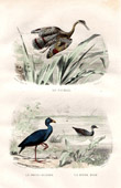 Buffon - Birds - Sunbittern - Purple Swamphen - Common Moorhen