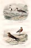 Buffon - Birds - Dunlin - Spotted Redshank - Black winged Pratincole - Stint