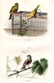 Buffon - Birds - European Serin - Linnet
