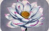 Botanical Print - Botany - Flowers - Helumbium Speciosum - Caspicum