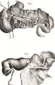 Anatomy - Buffon - Veterinary Medicine Pl.325
