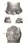 Anatomy - Buffon - Veterinary Medicine Pl.311
