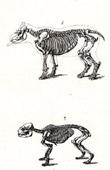 Anatomy - Buffon - Veterinary Medicine - Skeleton Pl.327