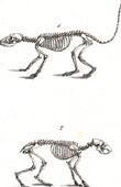 Anatomy - Buffon - Veterinary Medicine - Skeleton Pl.195