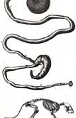 Anatomy - Buffon - Veterinary Medicine - Skeleton Pl.139