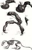 Anatomy - Buffon - Veterinary Medicine - Skeleton Pl.256