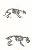 Anatomy - Buffon - Veterinary Medicine - Skeleton Pl.276
