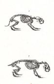 Anatomy - Buffon - Veterinary Medicine - Skeleton Pl.276