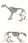 Anatomy - Buffon - Veterinary Medicine - Skeleton Pl.228