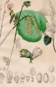 Botanical Print - Botany - Corylus Avellana