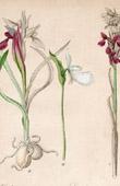 Botanical Print - Botany - Orchis Gennarii - Serapias Neglecta - Cypripedium Guttatum