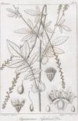 Botanical Print - Botany - Agrimonia Nepalensis Don (Victor Jacquemont)
