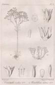 Botanical Print - Botany - Crassula indica - Umbilicus luteus (Victor Jacquemont)