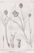 Botanical Print - Botany - Cephalaria cachemirica (Victor Jacquemont)