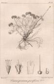 Botanical Print - Botany - Craniospermum parviflorum (Victor Jacquemont)
