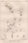 Botanical Print - Botany - Nepeta thibetica Benth (Victor Jacquemont)